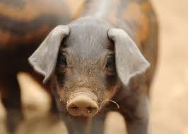 Rare Breed Piglet